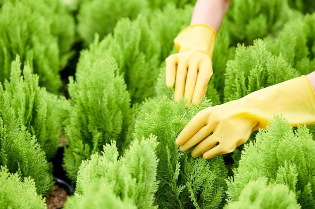Jardineiro verificando cuidadosamente cada planta de cipreste