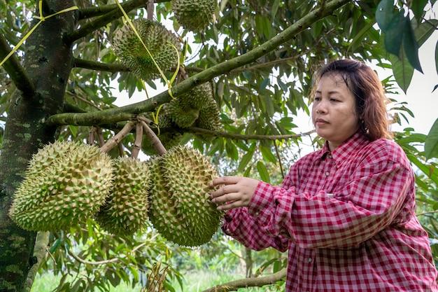 Jardineiros estão verificando o durião na árvore durian que está pronta para ser vendida.