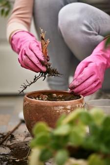 Jardineiros mão em luvas cor de rosa lança uma planta seca.