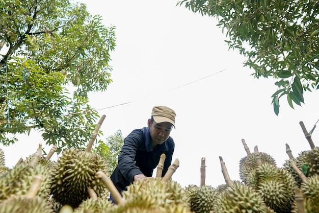 Jardineiros na província de chanthaburi estão separando o durian à venda.
