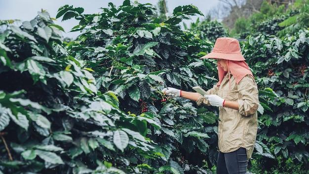 Jardineiros que têm um caderno e estudam árvores de café, grãos de café e colheita.