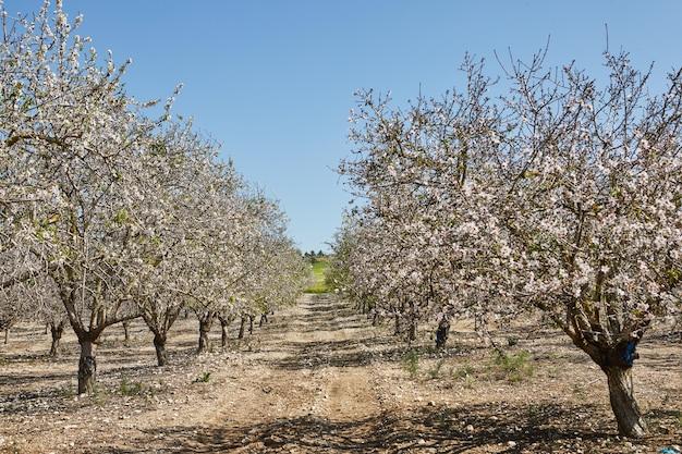 Jardins com amendoeiras floridas no início da primavera