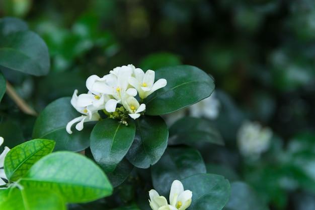 Jasmim alaranjado na árvore, cheiro agradável da flor branca no jardim.