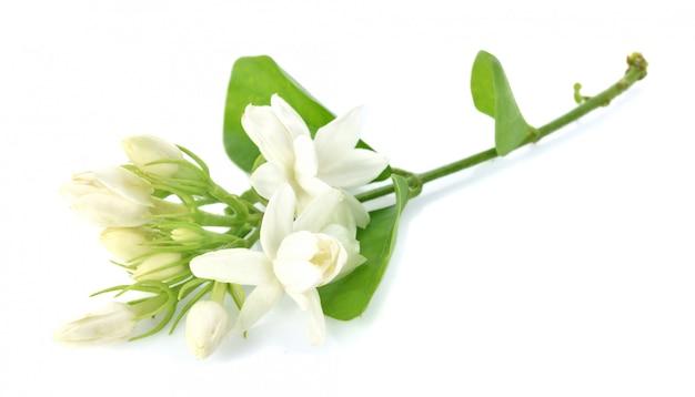 Jasmine em fundo branco