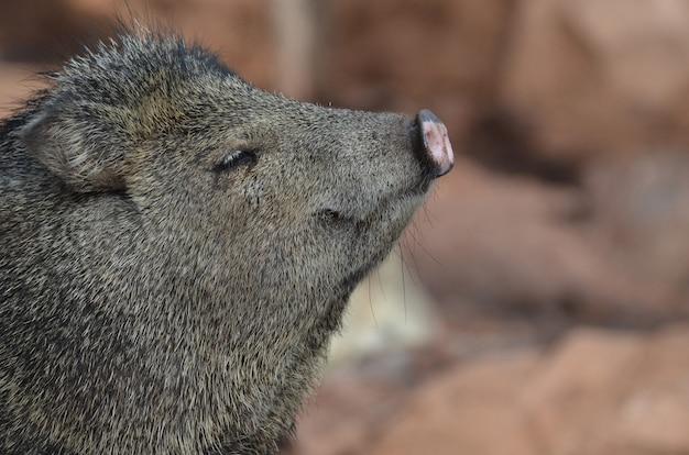 Javali skunk pig fofo, nativo do arizona