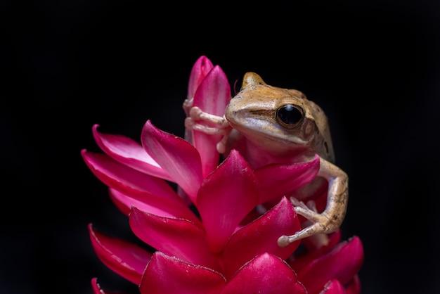 Javan chicoteando sapo empoleirado na flor vermelha