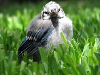 Jay azul-bebê