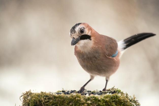 Jay da eurásia no alimentador de pássaros de inverno
