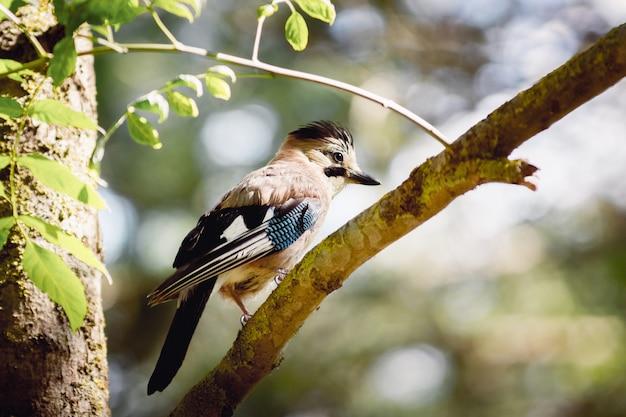 Jay pássaros na reserva no início da manhã