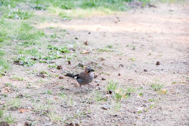 Jaybird pequeno à procura de comida
