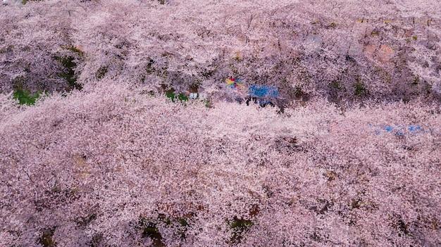 Jinhae cherry blossom festival, coreia do sul.