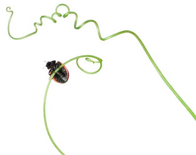Joaninha de sete pontos ou joaninha de sete pontos na beleza de trepadeira maior, trepadeira de hedge ou rutland - coccinella septempunctata
