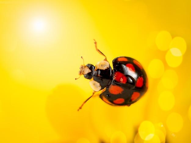 Joaninha em uma flor amarela. fotografia macro.