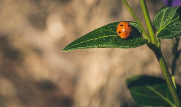 Joaninha em uma folha verde ensolarada com marrom