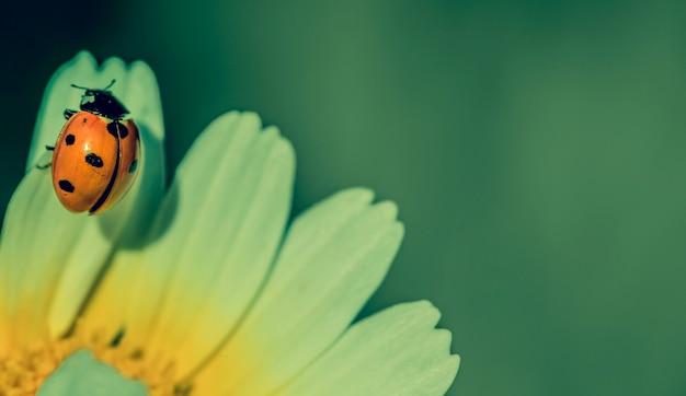 Joaninha em uma pétala amarela e branca da flor da margarida