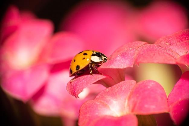 Joaninha laranja com manchas pretas em flores rosa orvalhadas, macro fotografia, foco seletivo.