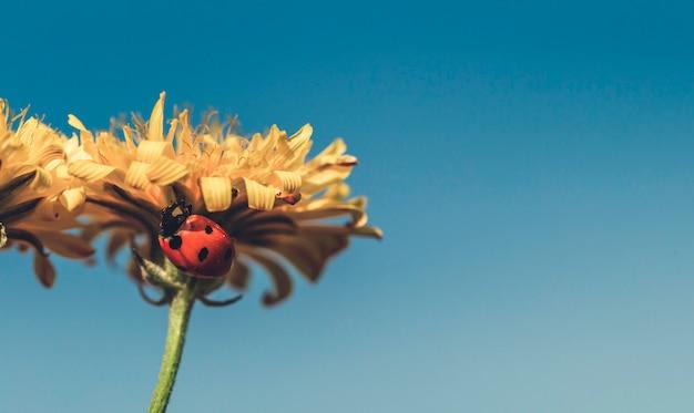Joaninha, ligado, um, ensolarado, amarela, flor margarida, vista baixa ângulo