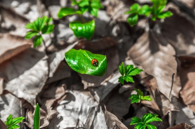 Joaninha na criatura de verão de folhas verdes conceito de uma nova vida após o incêndio na floresta