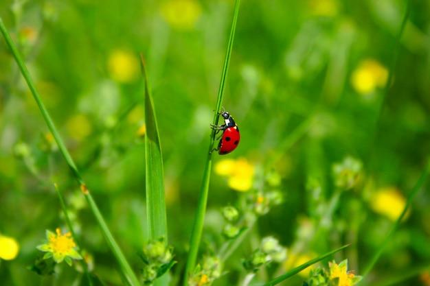 Joaninha na folha de grama