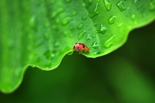 Joaninha na folha verde