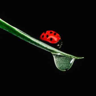 Joaninha na lâmina de grama perto da gota de água