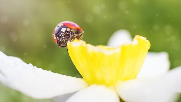 Joaninha sentada em um narciso branco. banner brilhante 16: 9. o conceito de verão, natureza.