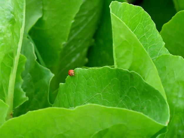 Joaninha vermelha andando na borda da folha vegetal verde vibrante na fazenda orgânica