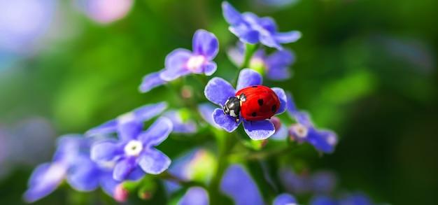 Joaninha vermelha em flores roxas, belos insetos na natureza