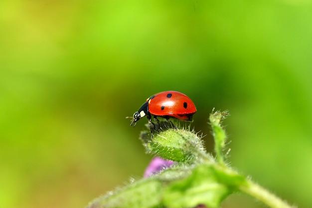 Joaninha vermelha na grama verde isolada no verde