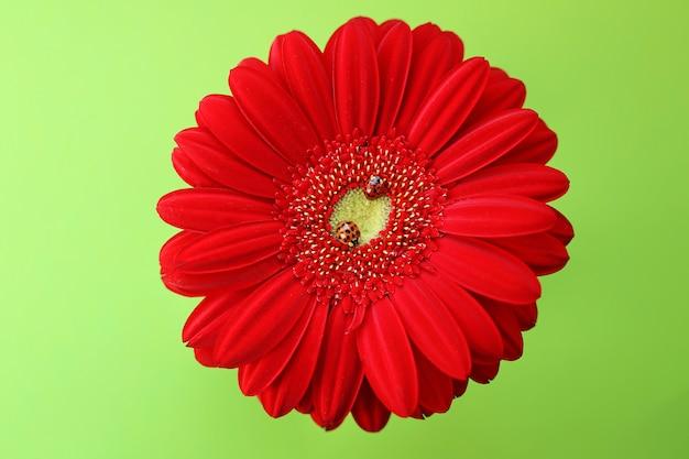 Joaninhas em um close up vermelho gerbera sobre um fundo verde