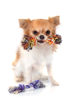 Jogando cachorro chihuahua