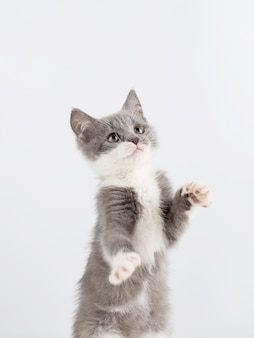Jogo cinzento bonito do gatinho engraçado e divertimento em um branco.