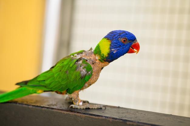 Jogos de acasalamento rainbow lorikeet. um papagaio desbotado gruda em uma fêmea