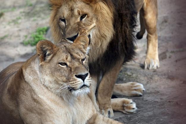 Jogue o leão e a leoa