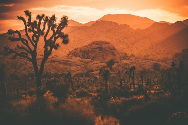 Joshua trees deserto da califórnia