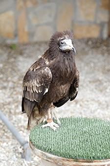 Jovem abutre egípcio (neophron percnopterus) empoleirado em um estalajadeiro
