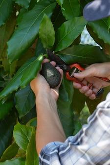 Jovem agricultor está colhendo e colhendo abacates
