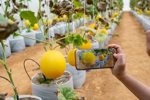 Jovem agricultor observando uma fotografia de melão arquivada no celular
