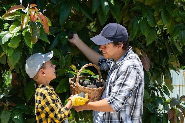 Jovem agricultor sorridente com filho colhendo abacates Foto Premium