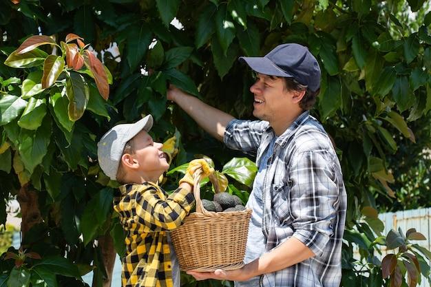 Jovem agricultor sorridente com filho colhendo abacates