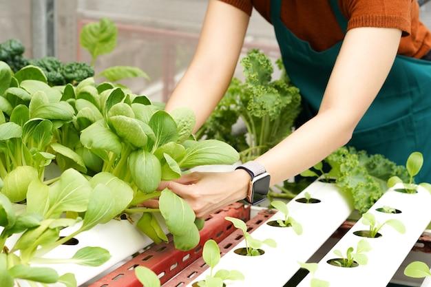 Jovem agricultora asiática cuida de vegetais hidropônicos