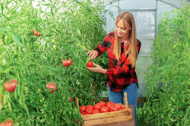 Jovem agricultora em estufa. mulher colhendo legumes frescos de sua fazenda.