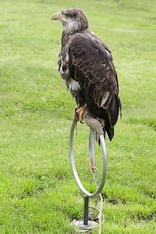 Jovem águia-careca (haliaeetus leucocephalus) empoleirada em um estalajadeiro