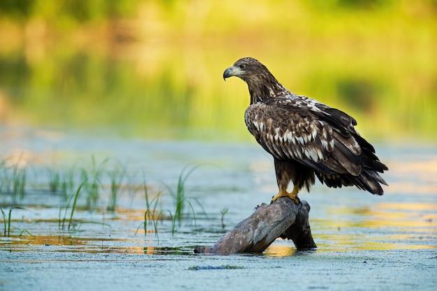 Jovem águia de cauda branca sentada em um galho na água