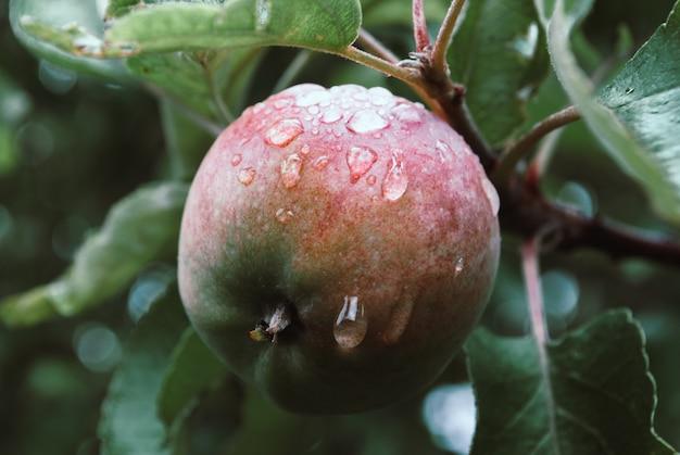 Jovem, ambientalmente amigável, apple em um galho de uma maçã t