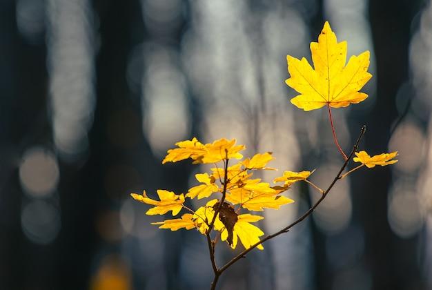 Jovem árvore de bordo com as últimas folhas amarelas em uma floresta escura de outono