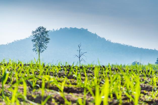 Jovem árvore de cana de açúcar