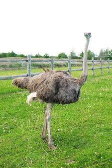 Jovem avestruz na grama, horário de verão ao ar livre