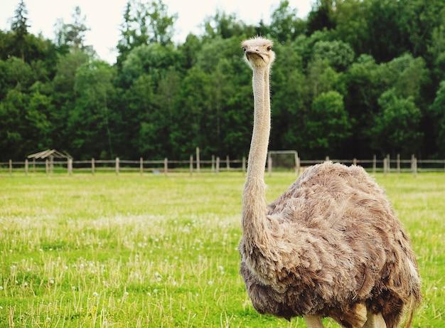Jovem avestruz na grama, horário de verão