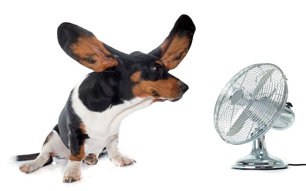 Jovem basset hound e ventilador